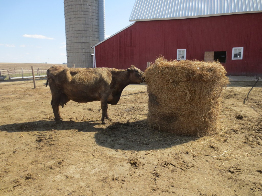 No Ears was first at the new hay bale