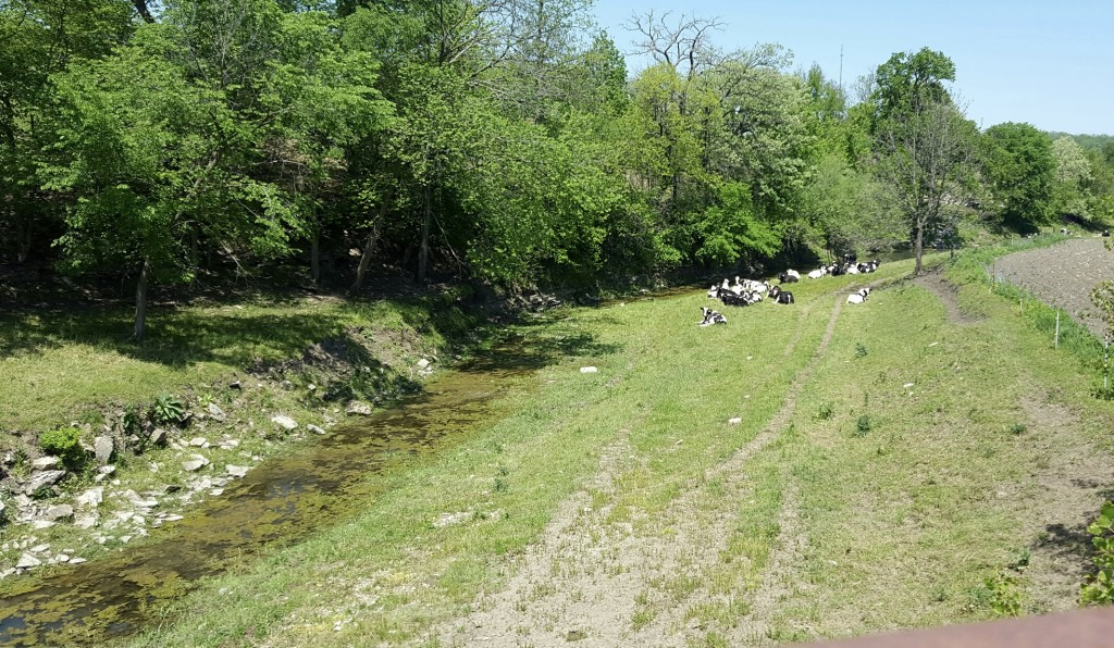 Dairy cows just hanging out by the stream